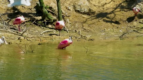 A roseate spoonbill bathing in a lake.