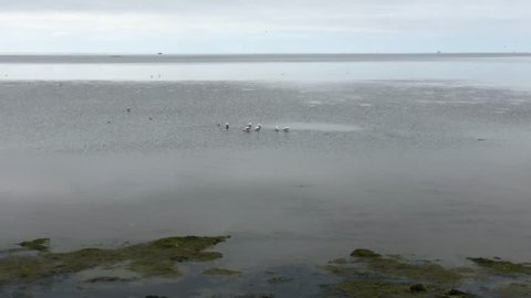 Group spoonbills during low tide on Terschelling island in Friesland, The Netherlands