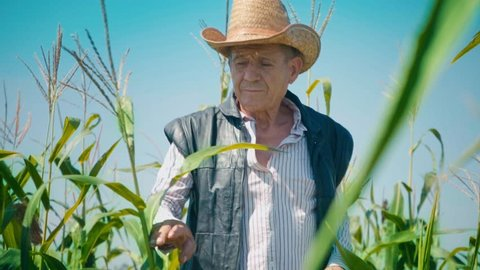Farmer in corn field tears corn. An elderly man in a straw hat walks a cornfield and checks the future crop