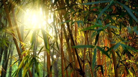 Sun shining through bamboo leaves in bamboo grove forest. Chengdu, Sichuan, China