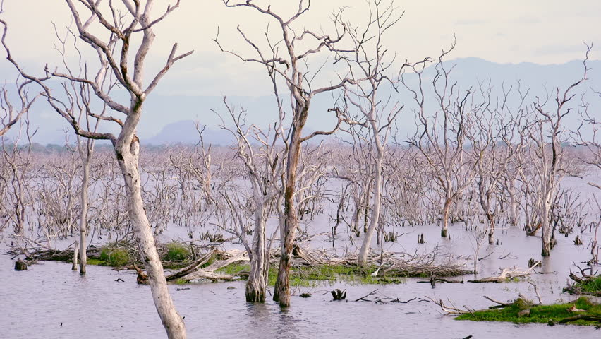 Mysterious scenery with drowned forest. Mystical landscape with dead trees covered with water. Dried trunks with branches or snags sticking out of lake or pond. Yala National Park, Sri Lanka.