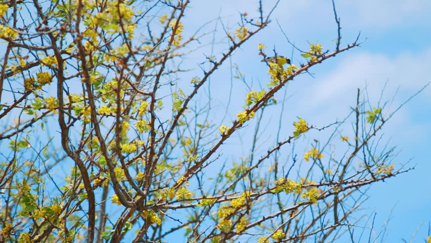 A bananaquit bird sits by yellow blossoms on waving branches of a Kibrahacha tree. Willemstad,Curacao