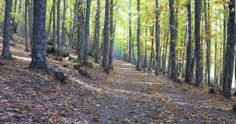 4k video. shot moving in footpath with autumn leaves golden brown and yellow color in forest of chestnut trees known as Castanar of Tiemblo, Iruelas, Avila, Castile, Spain