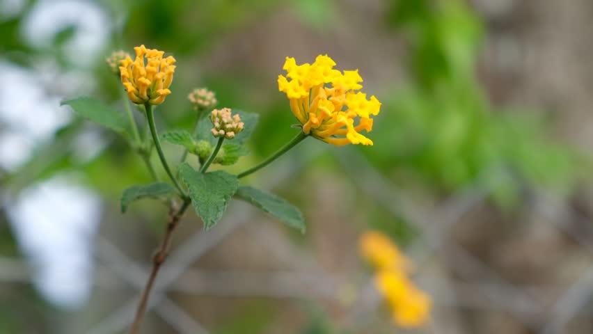 Closeup of Lantana Camara yellow flowers with green background