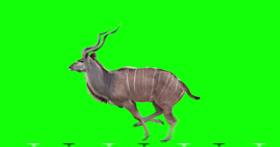 Kudu antelope runs gallop. Two variations: with horns (male) and without horns (female). Isolated cyclic animation. Can also use as a silhouette. Green Screen.