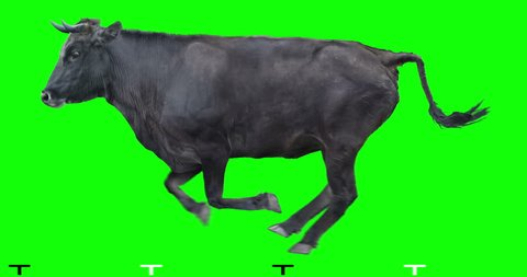 Black bull runs on a transparent background. Cyclic animation. Green Screen. Can also use as a silhouette.