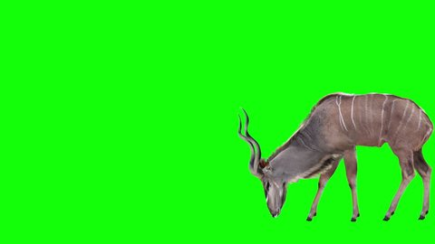 Grazing Kudu Antelope. Two variations with and without horns. Green Screen. Cyclic animation with the horizontal movement 2090 pixels for 4K (1045 for HD). You can also be used as a silhouette.