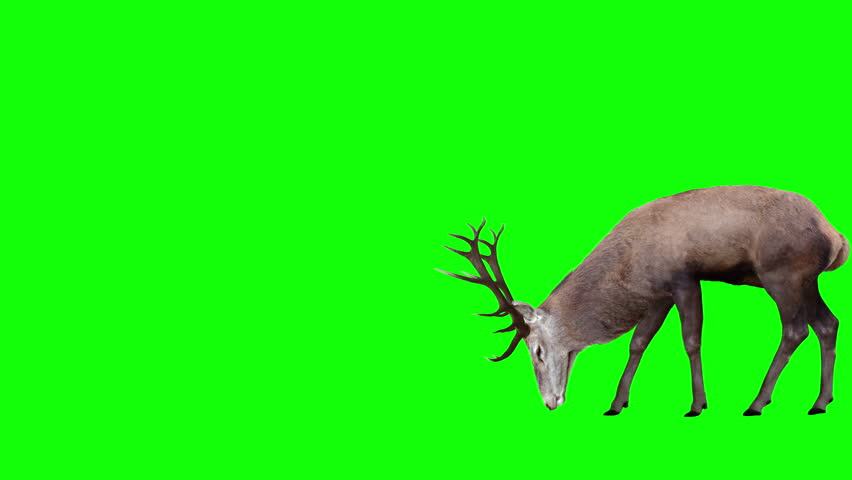 Grazing Red Deer. Two variations with and without horns. Green Screen. Cyclic animation with the horizontal movement 1943 pixels for 4K (971 for HD). You can also be used as a silhouette.