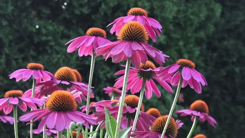 Lavender pink, daisy-like coneflowers or Echinacea with spiky green cone brightened with orange tips