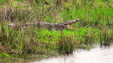 Mugger or Indian crocodile lying with open mouth on bank of shallow pond. Gorgeous wild predatory reptile resting near water. Carnivorous animal in wild nature. Yala National Park, Sri Lanka.