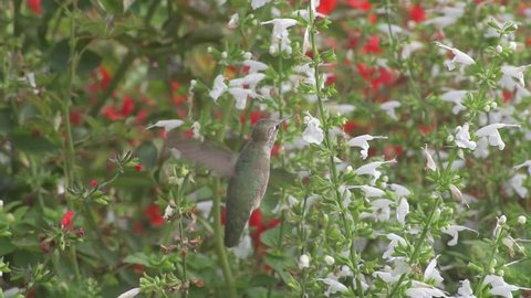 An female Anna's hummingbird (Calypte anna) collects nectar from salvia blooms.