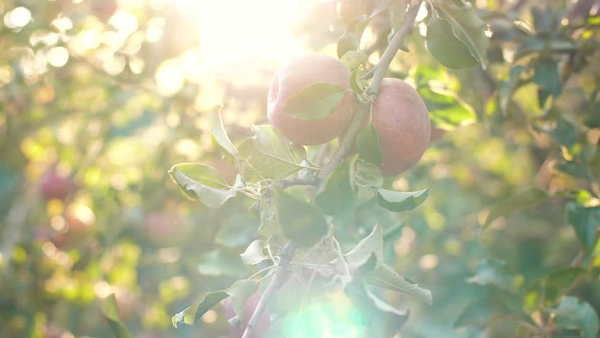 Woman picking an apple