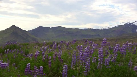 Eyjafjallajokull volcano (southern Iceland) during summer season with a lot of flowers (Lupinos) in front
