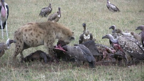 Hyena and many scavengers share a wildebeest meal.