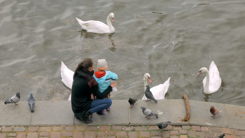 mother and her little child are throwing bread to white wild swans, standing on embankment