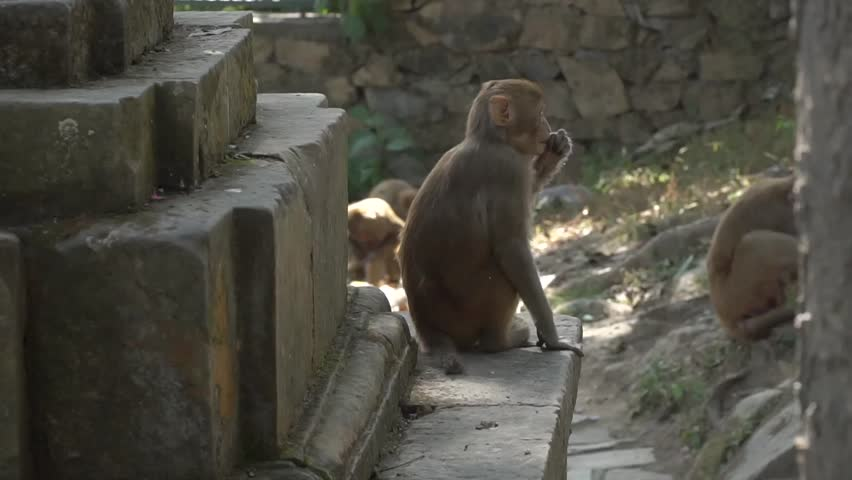 A female monkey with a small baby in Kathmandu. In the city of Kathmandu there live many wild monkeys. Especially a lot of monkeys live near the Buddhist temple of Swayambhunath.