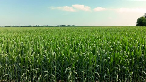 Drone footage of the tops of corn stalks on a farm with bright sunny blue sky and clouds.