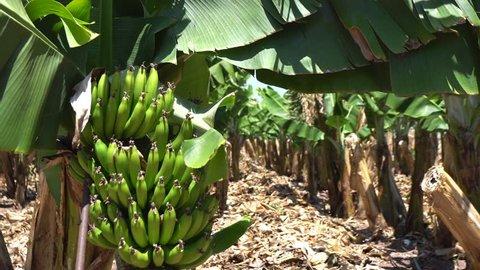 Banana plantation, banana trees. Banana flowers