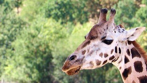 The portrait of Rothschild giraffe (Giraffa camelopardalis rothschildi).