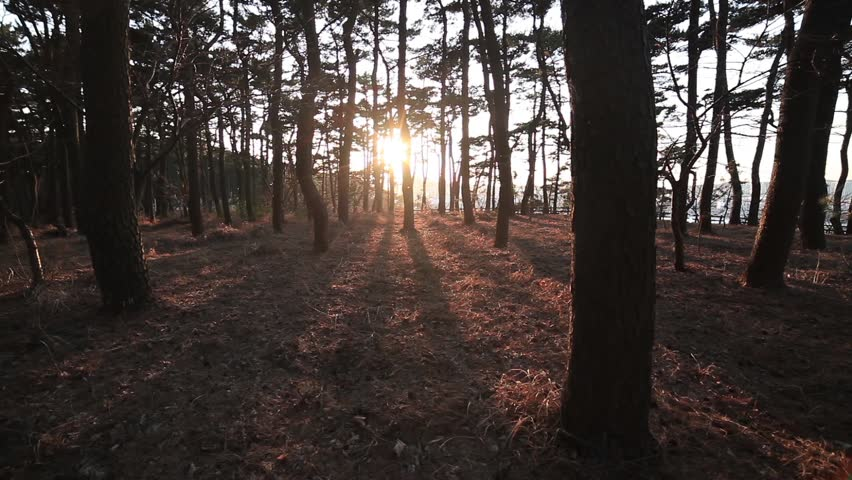 It is a picture of golden sun and backlight pine forest. It is a beautiful image of sunset. | Shutterstock HD Video #1015890292