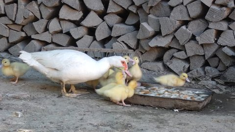 Domestic Duck Family - Drinking Water. Stock of Muscovy ducklings with mother.