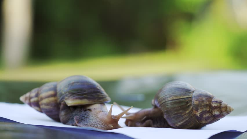 Two Achatina snails crawl on a white sheet of paper. Large African snails Achatina Fulica.