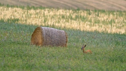 European roe deer (Capreolus capreolus) grazing near village