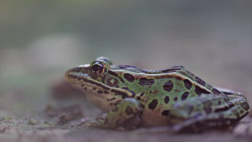 Wide shot of wild frog with blurred background. Camouflaged patterned frog enjoying the sun on a summer day. Naturally lite frog in nature.