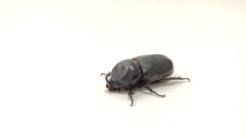 Coconut rhinoceros beetle,or Indian rhinoceros beetle,or Asian rhinoceros beetle walking on over white background.It is a very dangerous insect pest of palm and coconut,with glare light.