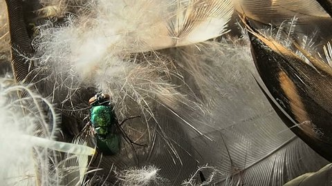 Green carrion fly sitting on the feathers of a dead bird. The winged insect Calliphoridae lays eggs in the garbage.
