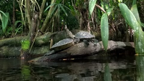 Pair of turtles sitting on tree trunk protruded from water and basking against thicket of plants on background. Wild freshwater reptiles resting on snag sticking out of swamp. Exotic aqua terrarium.