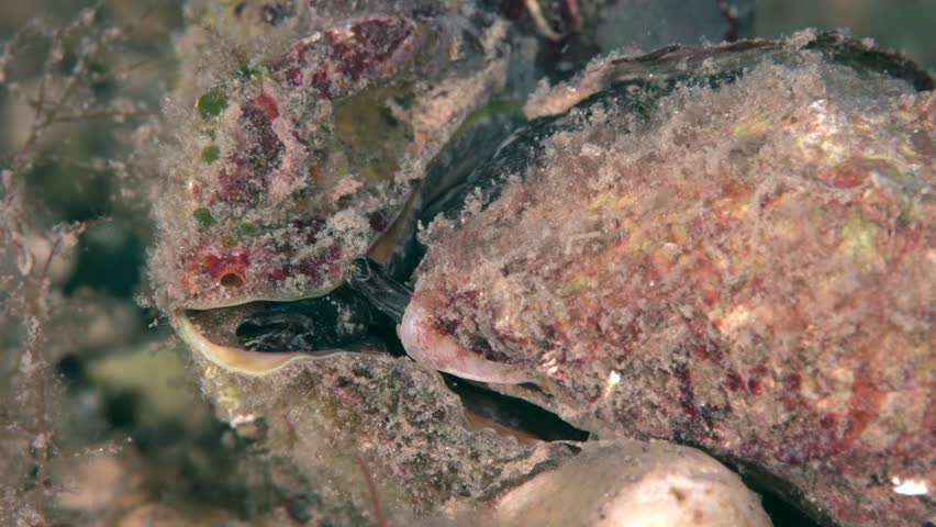 Rapana venosa mating, common name the veined rapa whelk or Asian rapa whelk, is a species of large predatory sea snail, a marine gastropod mollusc or whelk, in the family Muricidae, the rock shells.