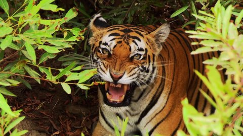 A tiger growling in the forest
