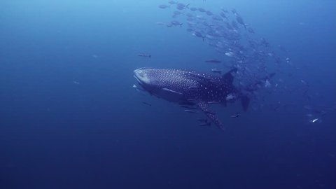 Stunning Whaleshark with an entourage of fish!