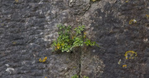 Small green leaves plant vegetation growing through cracks in stone wall