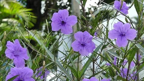 Ruellia Wild Petunia  are blowing in the wind. Video , Location in Bangkok, Thailand.