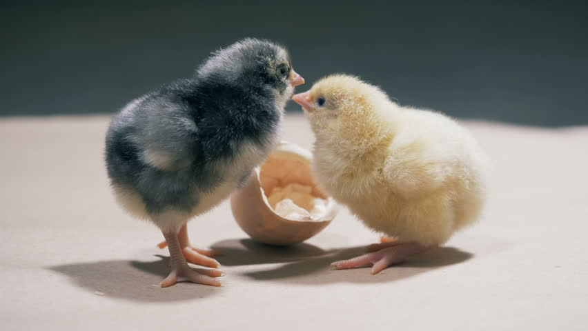 A picture of baby chicks 13