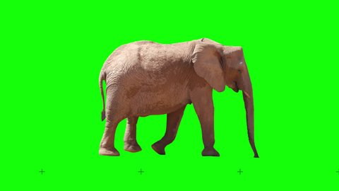 African elephant slowly walking seamlessly looped on green screen, real shot, isolated with chroma key, perfect for digital composition, cinema, 3d mapping.