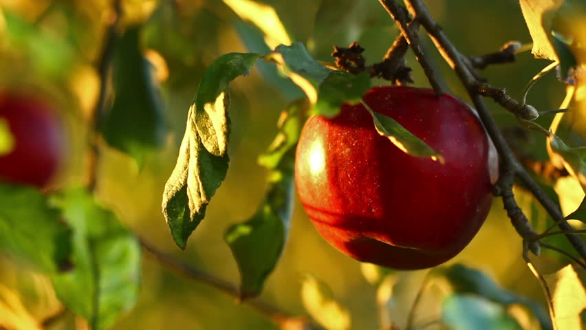 Apple tree with red apples close up in sunset. Red apple grow on a branch. Soft focus on apples with golden sunlight  #1016490952
