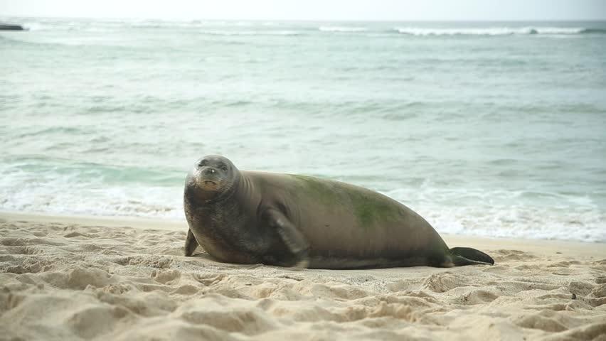 Hawaiian Monk Seal resting on a beach with waves crashing behind.