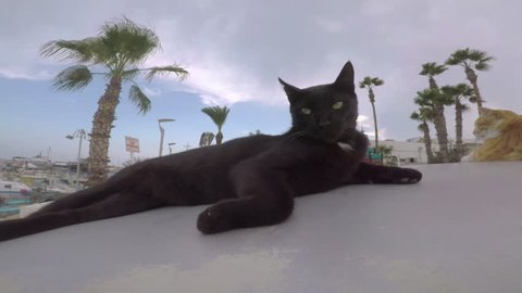 A black cat looks into the camera and on both sides, lies on the street, in the background a red cat and palms. Close-Up