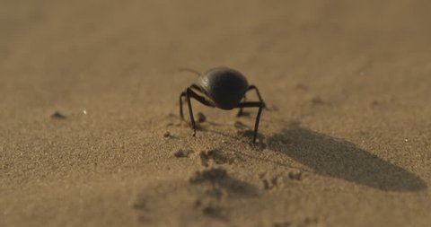 A scarab / beetle walks across the sand in the desert.