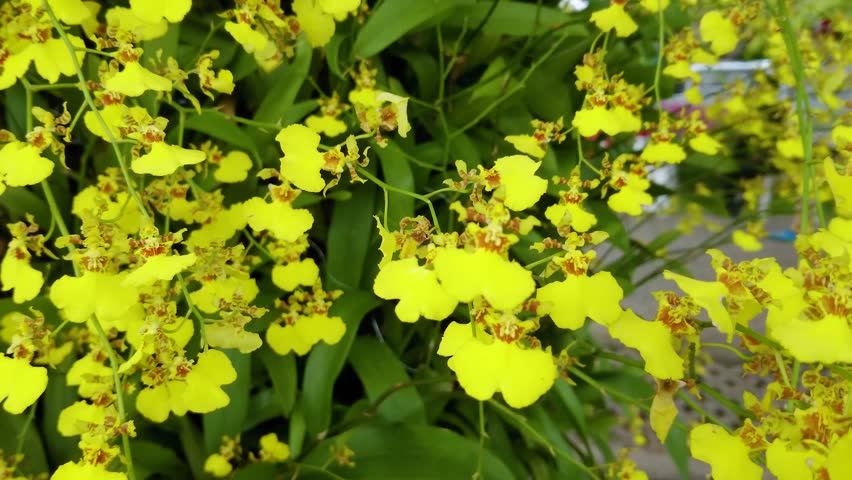 Small yellow orchid flowers in the garden, Oncidium Orchid Flowers, Dancing Lady orchid, Oncidium Varicosum, Oncidium Goldiana.