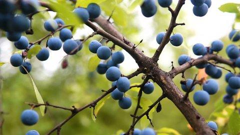 Delicate fresh Sloe berries