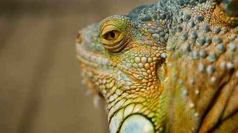 Close-up portrait of a resting vibrant Lizard. Selective focus. Green Iguanas are native to tropical areas of Mexico, Central America, South America, and the Caribbean