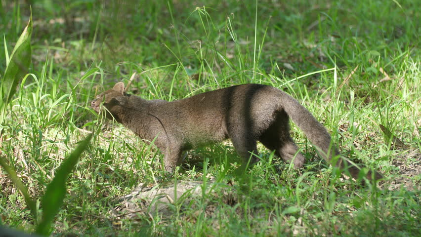 Jaguarundi (Herpailurus yagouaroundi) eating grass in French Guiana