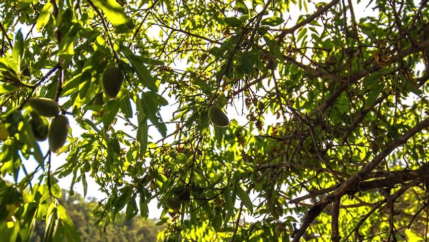 black almond tree removal - 852×480