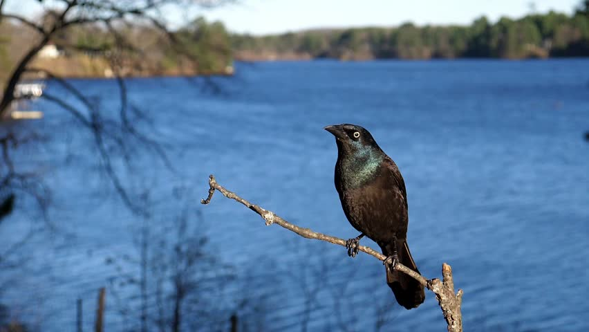 Grackle bird attacked by another bird.