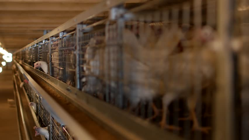 Breeding broiler chickens and chickens, broiler chickens sit behind bars in the hut, poultry house, bird