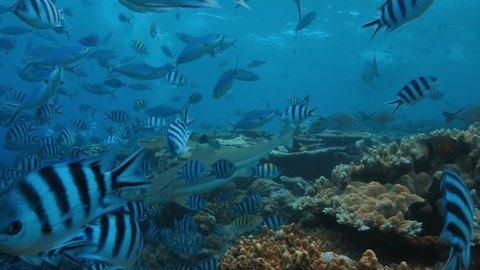 Sharks in deep blue ocean in Nature